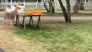 Deer Does Dine and Dash at Fruit Stand