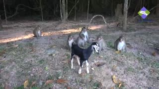 Whats Happened with the monkeys, When they saw a little goat in his area  - Video