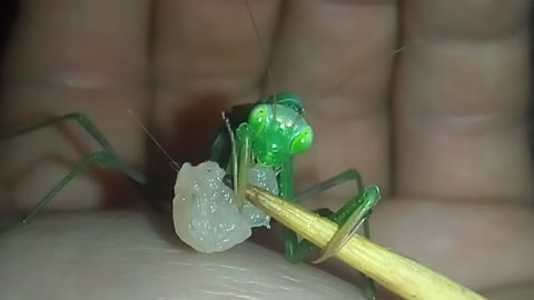 Praying mantis eats meat straight from the skewer