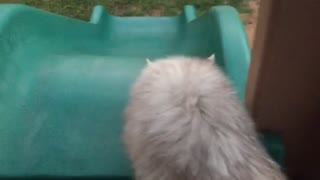 White cat slides down blue slide to grey cat below