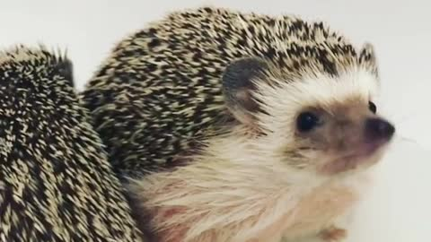 Family Hedgehog Gather Around Waiting For Christmas Dinner