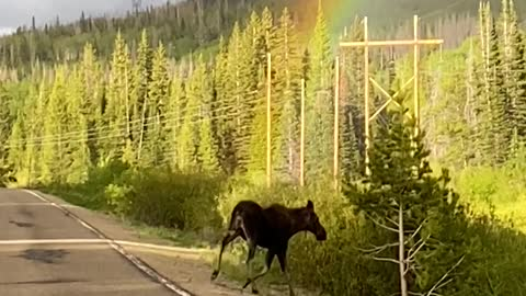 Incredible timing: The perfect moment a moose is filmed at the end of a rainbow