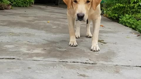 Labrador reacts to the movement