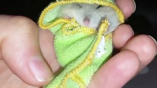 This little hamster looks so cute wrapped in his frog towel - Video