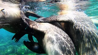 Playful sea lions are curious about swimmer's camera in the Galapagos Islands