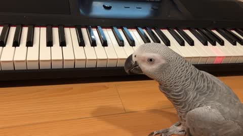 Happy Parrot Plays 'Happy Birthday' Song On Piano