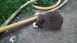 Uninvited Guest | Hedgehog Eating Food