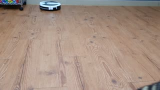 Raccoon walks up to the robot vacuum cleaner and runs away.