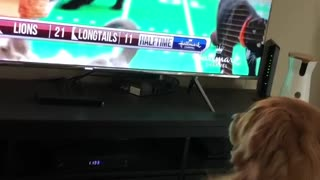 Golden retriever watching tv looking at kittens