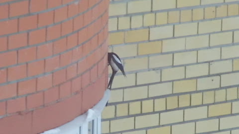 Magpie looking for something in the bricks of the wall