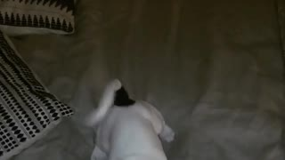 Collab copyright protection - white dog falls off bed
