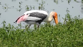 See the colorful western stork is extremely beautiful