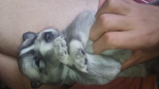 Puppy has cute reaction after being tickled