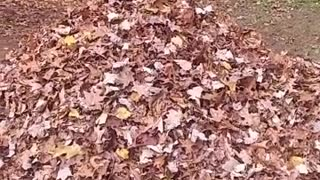 Brown dog jumps into pile of orange leaves - Video