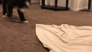 Black dog tries to pull blanket out from under pig