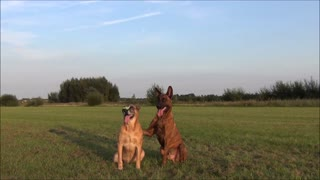 2 dogs show a trick while balance a finger spinner  - Video