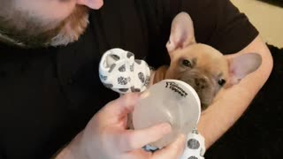 French Bulldog puppy enjoys being treated like a baby - Video