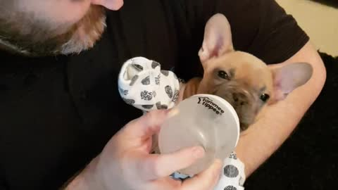 French Bulldog puppy enjoys being treated like a baby