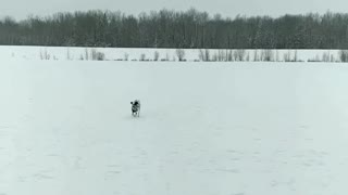 Dalmation plays fetch with snow balls in field - Video