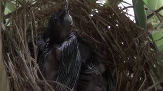 Mother bird secretly feeds her newborn babies  - Video