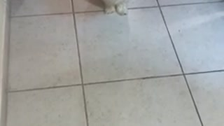 Small white dog gets closer as the camera goes back and forth