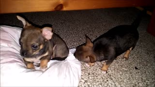 Small cute chihuahuas playing