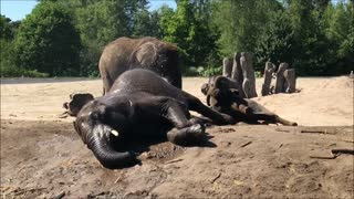 Funny elephant calfs having playtime and wrestle each other  - Video