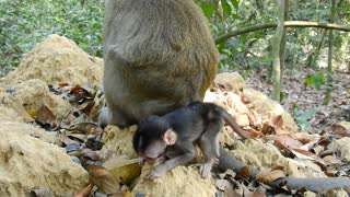 Cute Baby Monkey Want To Eat Like Mama  - Video
