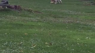 White lab puppy plays with stuffed toy on green grass - Video