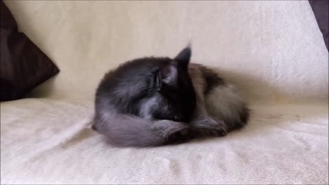 Cat cleaning his long fur