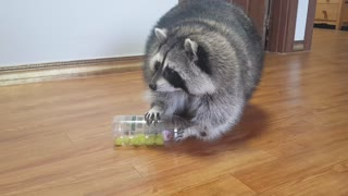 Raccoon is eating green grapes from the tumbler