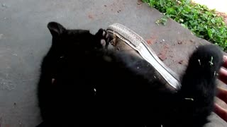 Cachorro de jaguar a la lucha con un humano - Video