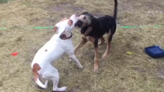 Dogs having fun  - Video
