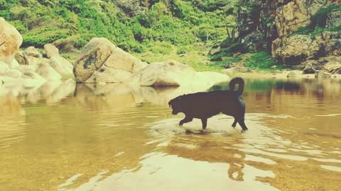 Dog Labrador Gets In Water After Hot Day