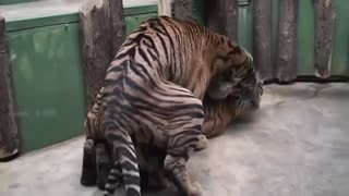 World Animal Scene Near the mating process Lam Son Of The Lord - Video