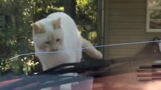 White cat gets scared of window wiper blades and jumps off car - Video