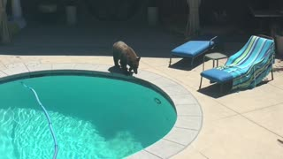 Bear Takes A Pleasure Dip In The Backyard Pool - Video