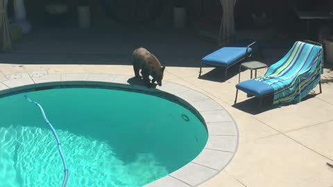 Bear Takes a Dip in the Pool