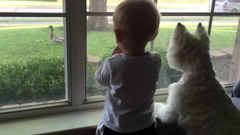 Duck on front lawn completely mesmerizes dog and baby
