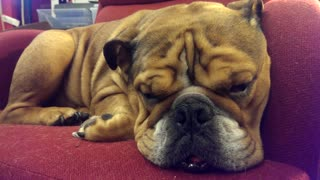 Bulldog caught dreaming during nap