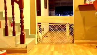Shih Tzu finds creative ways to escape gate - Video