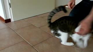 Playing cat - Video