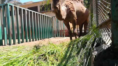 Camel Passionate For Green Morning Grass
