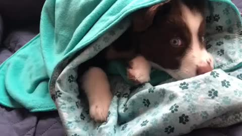Adorable puppy having a lazy Sunday wrapped in a blanket