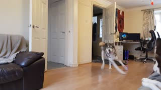 Husky goes crazy after owner disappears