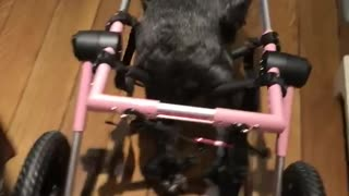 Black dog with pink and black wheel chair for back legs walks around house