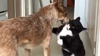 Black white cat jumps to attack large brown dog