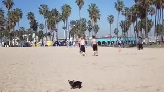 Small black dog running around on sand at beach - Video