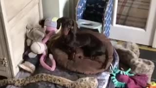 Dog suffering from Megaesophagus sits in special chair