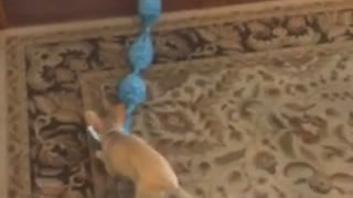 Small brown dog trying to play tug of war with blue rope toy against huge golden retriever